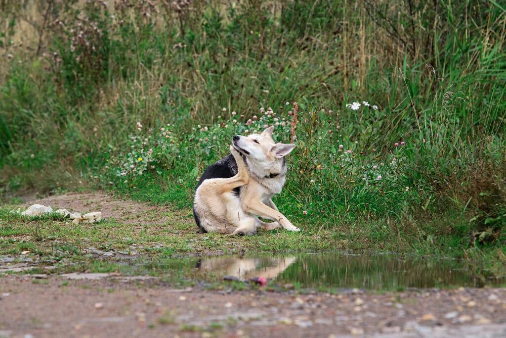 Hemoparasitoses Canina